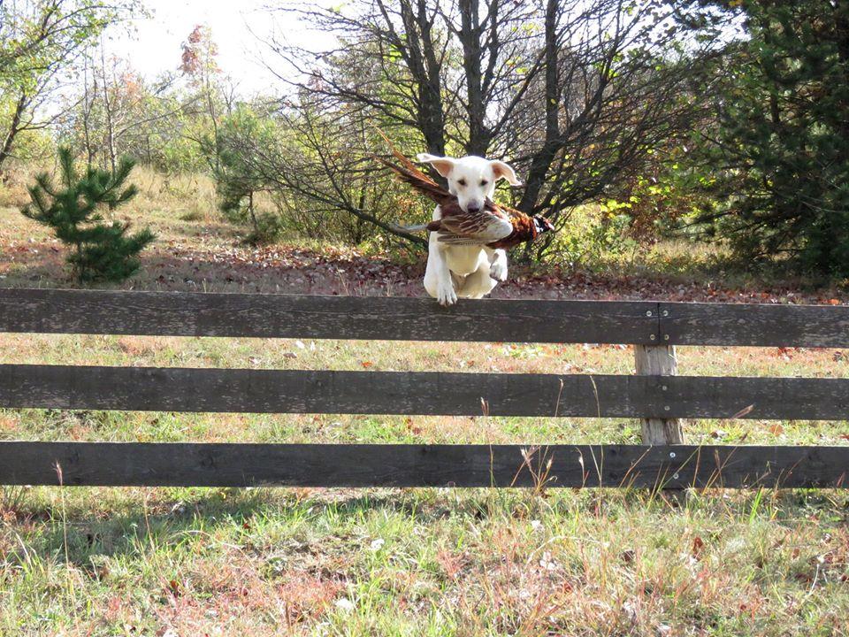 von der Mohnenfluh Azuka mit einem Fasan über den Zaun
